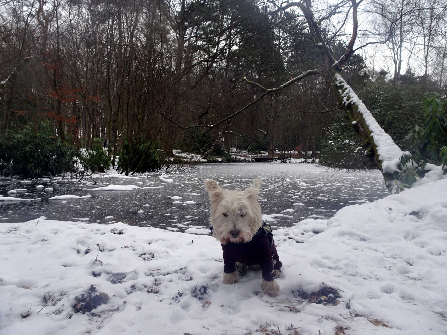 poppy the westie by the pond at pollock park