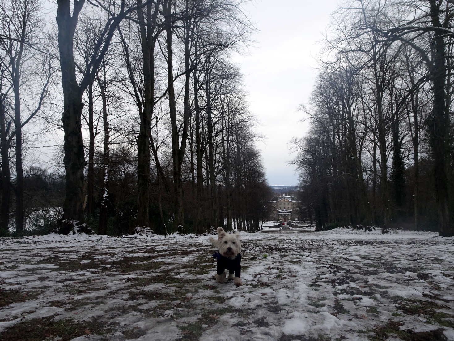 poppy the westie going down to pollock house in snow