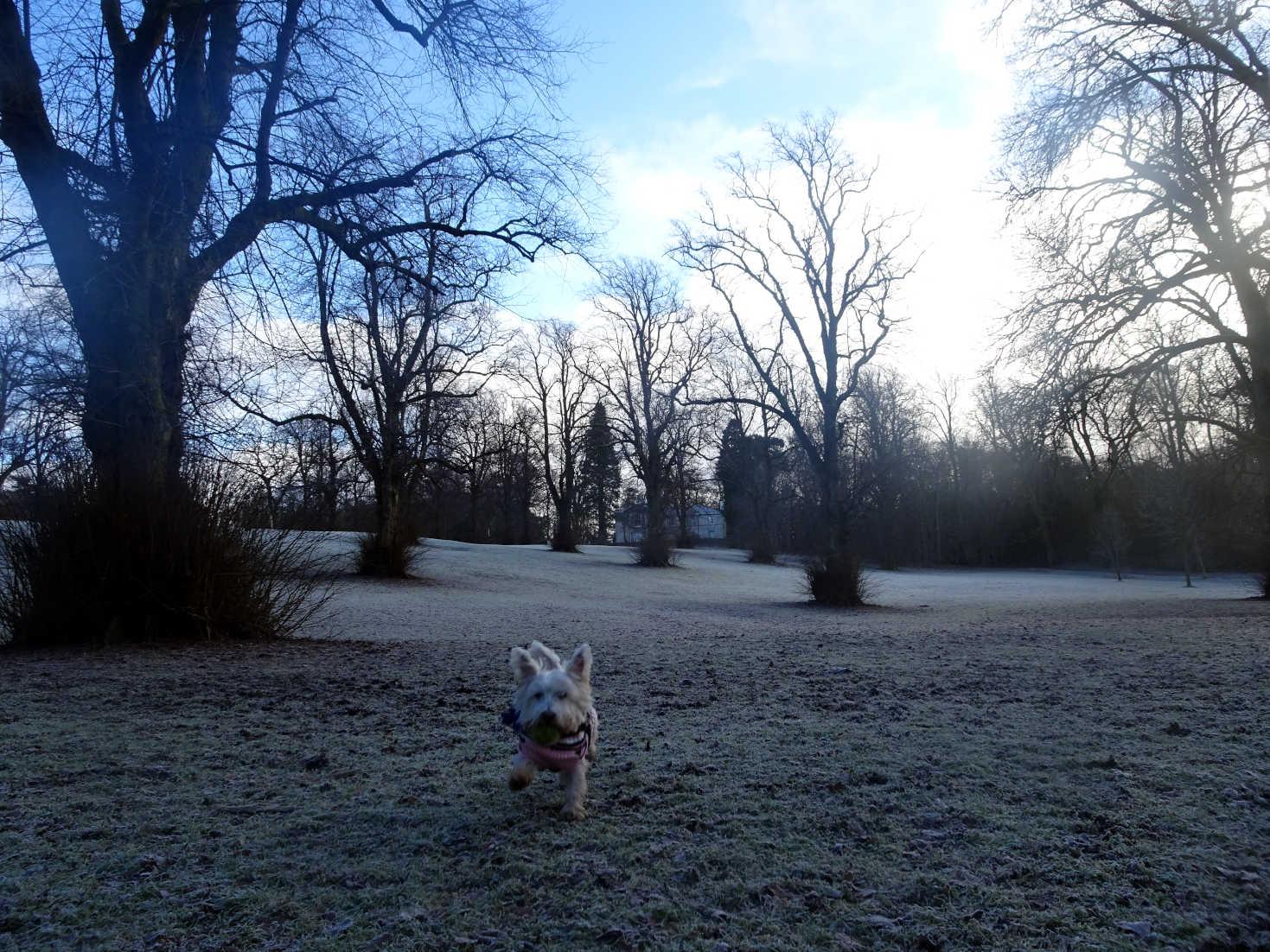 poppy the westie in big field linn park