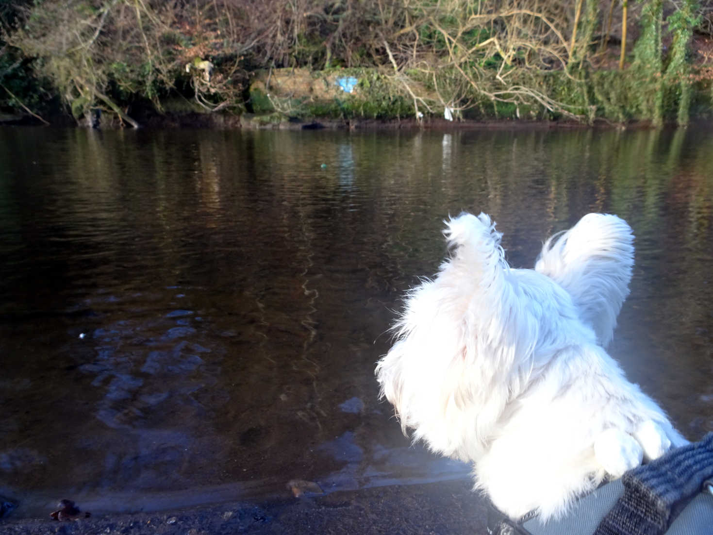 poppy the westie looks longingly at her ball in the river