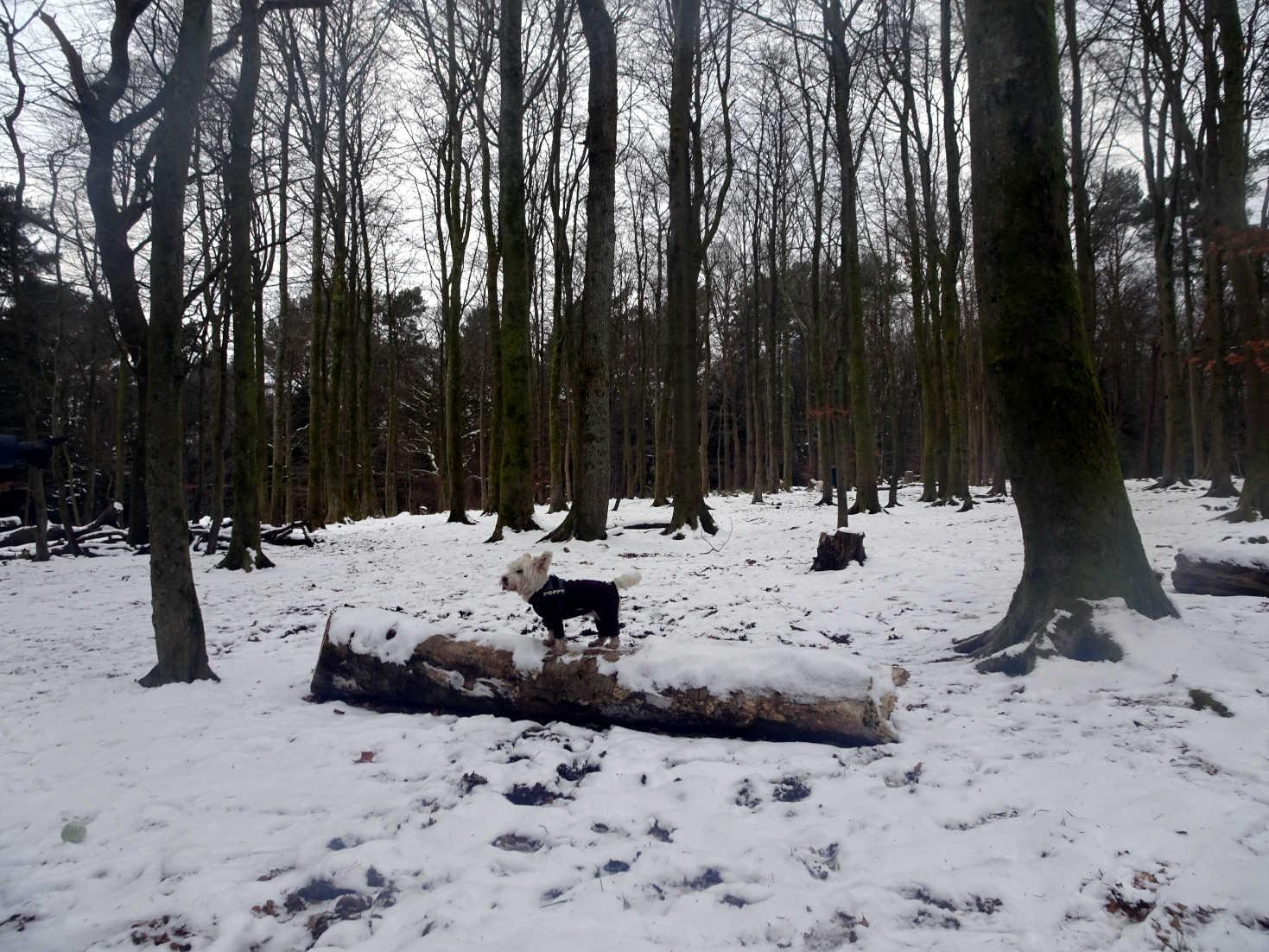 poppy the westie on snowy log pollock park