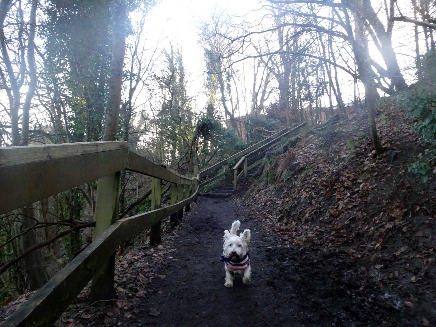 poppy the westie on the first accent in linn park