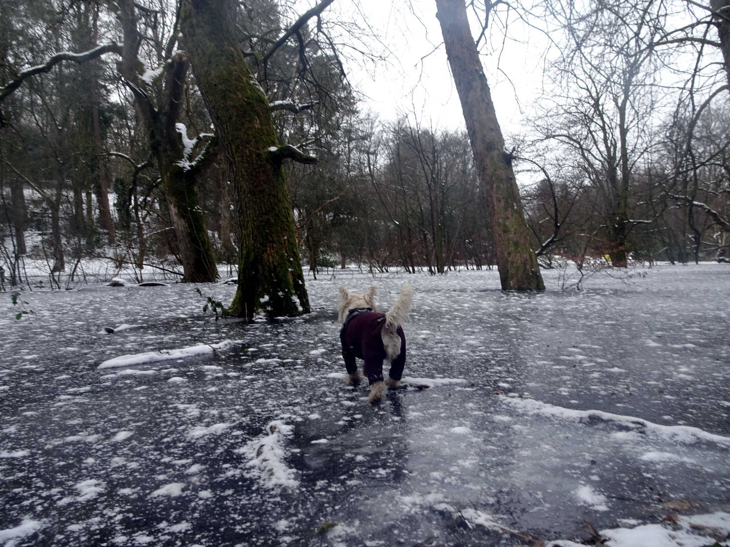 poppy the westie tests the water at pollock park