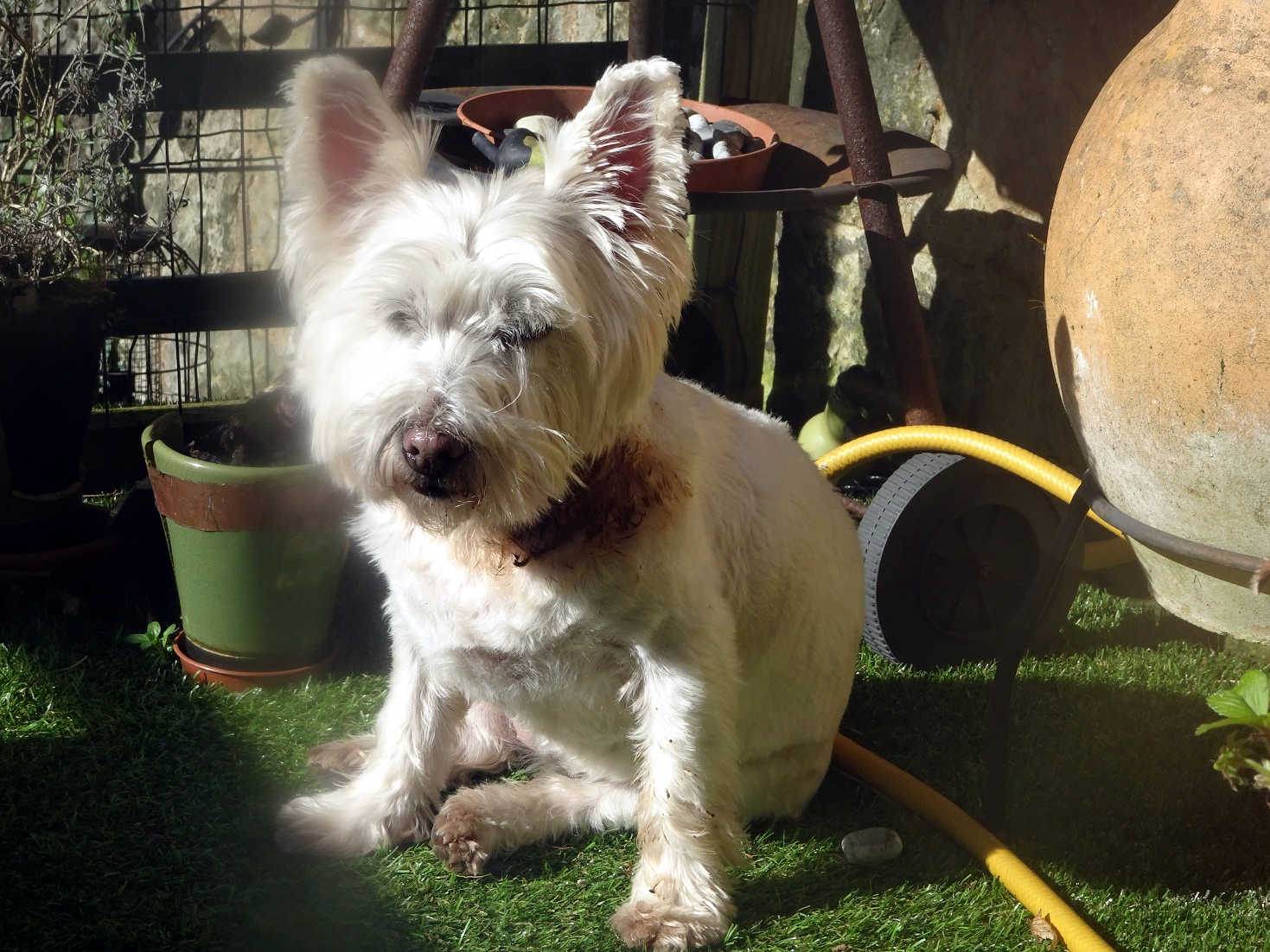 poppy the westie after perfume