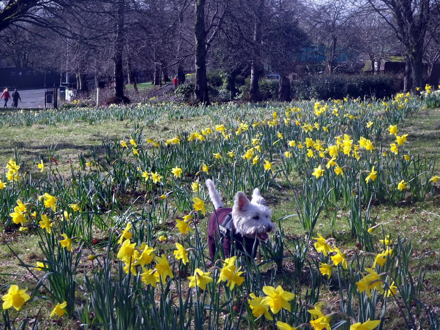 poppy the westie in home park in spring