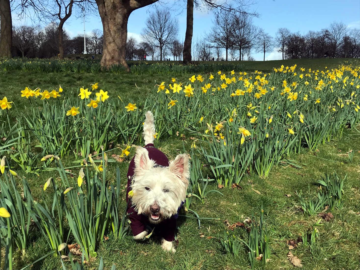 poppy the westie is loving spring