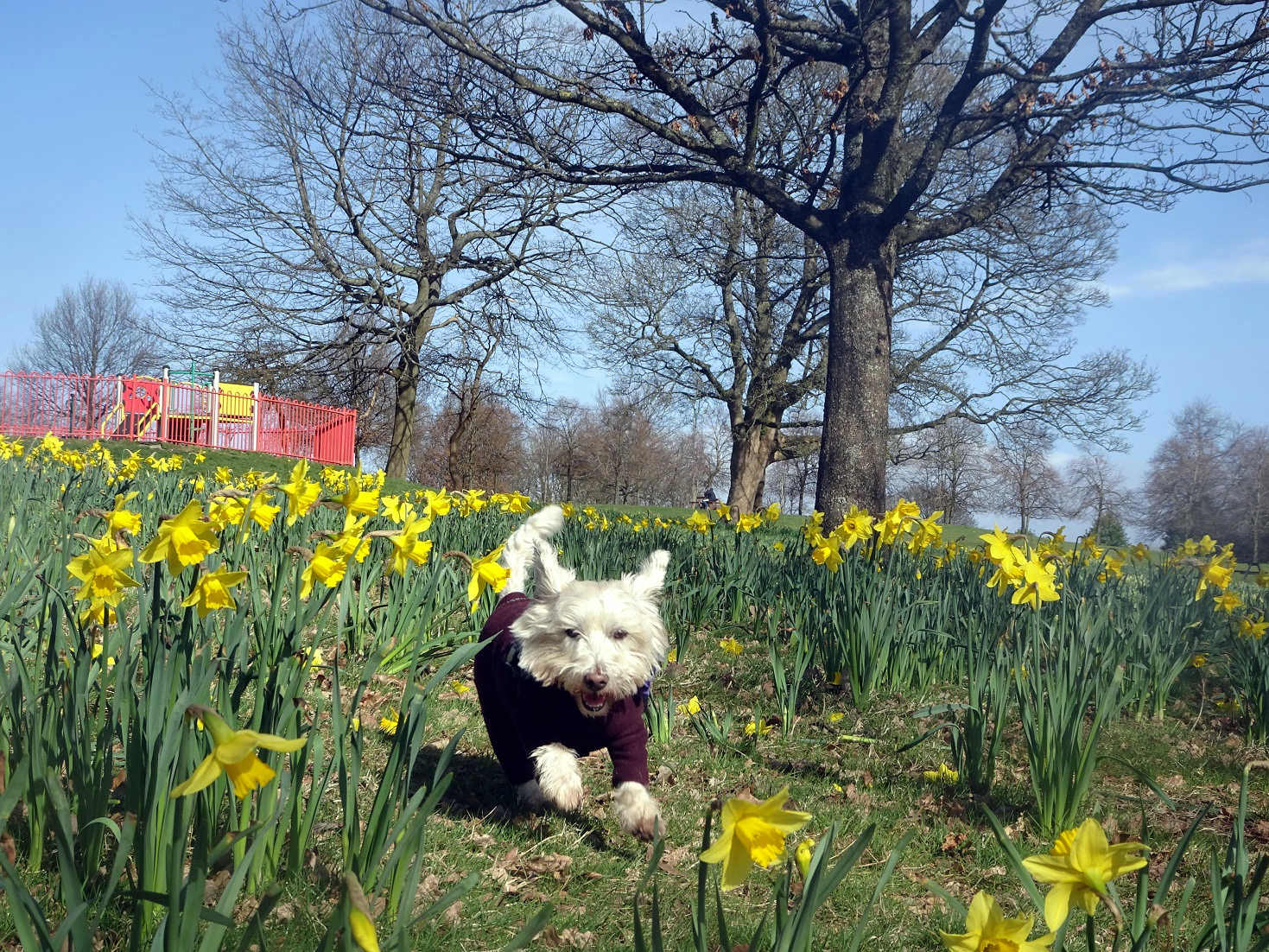poppy the westie playing in the dafodils