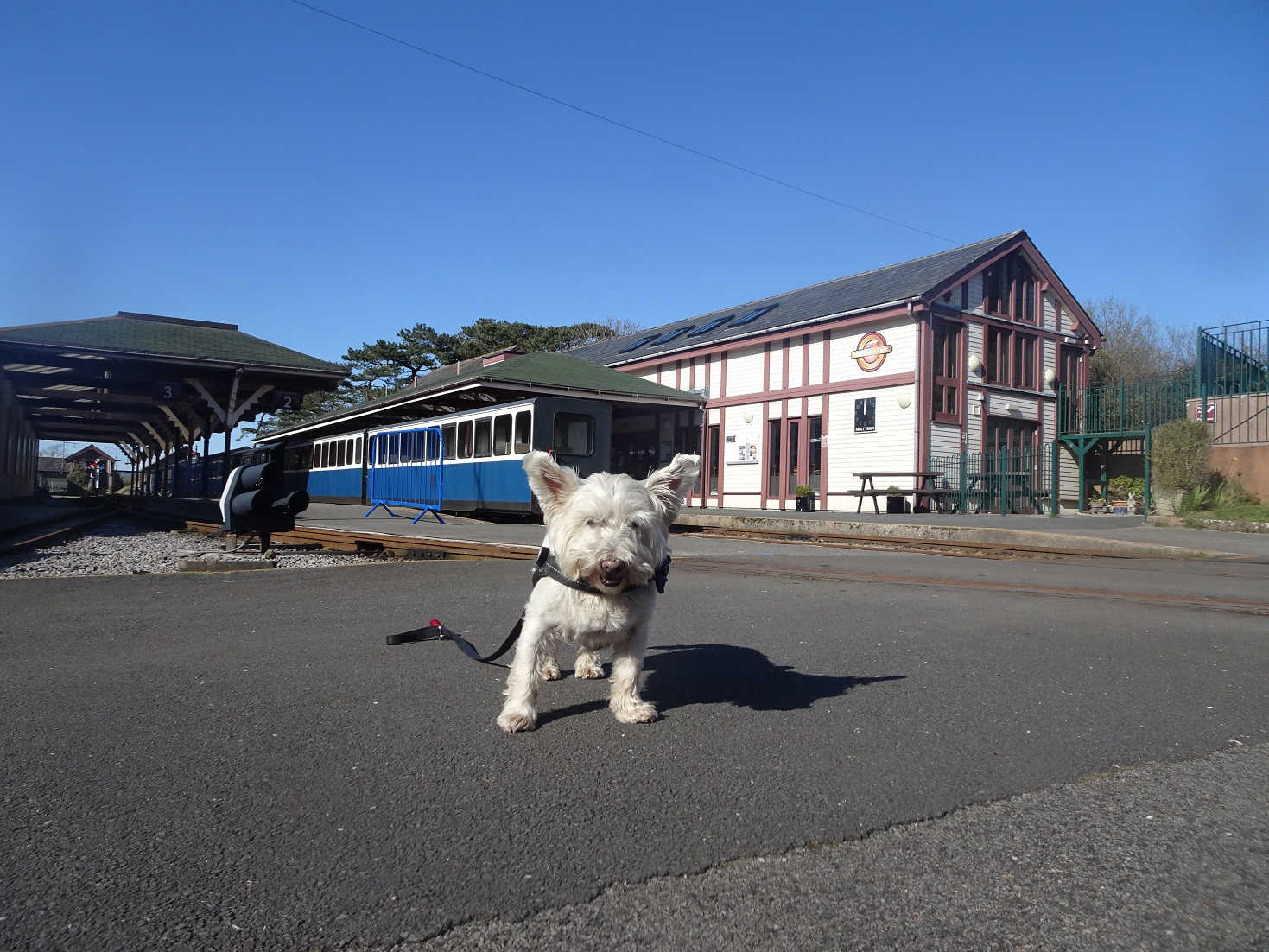 poppy the westie at ravenglass wee station