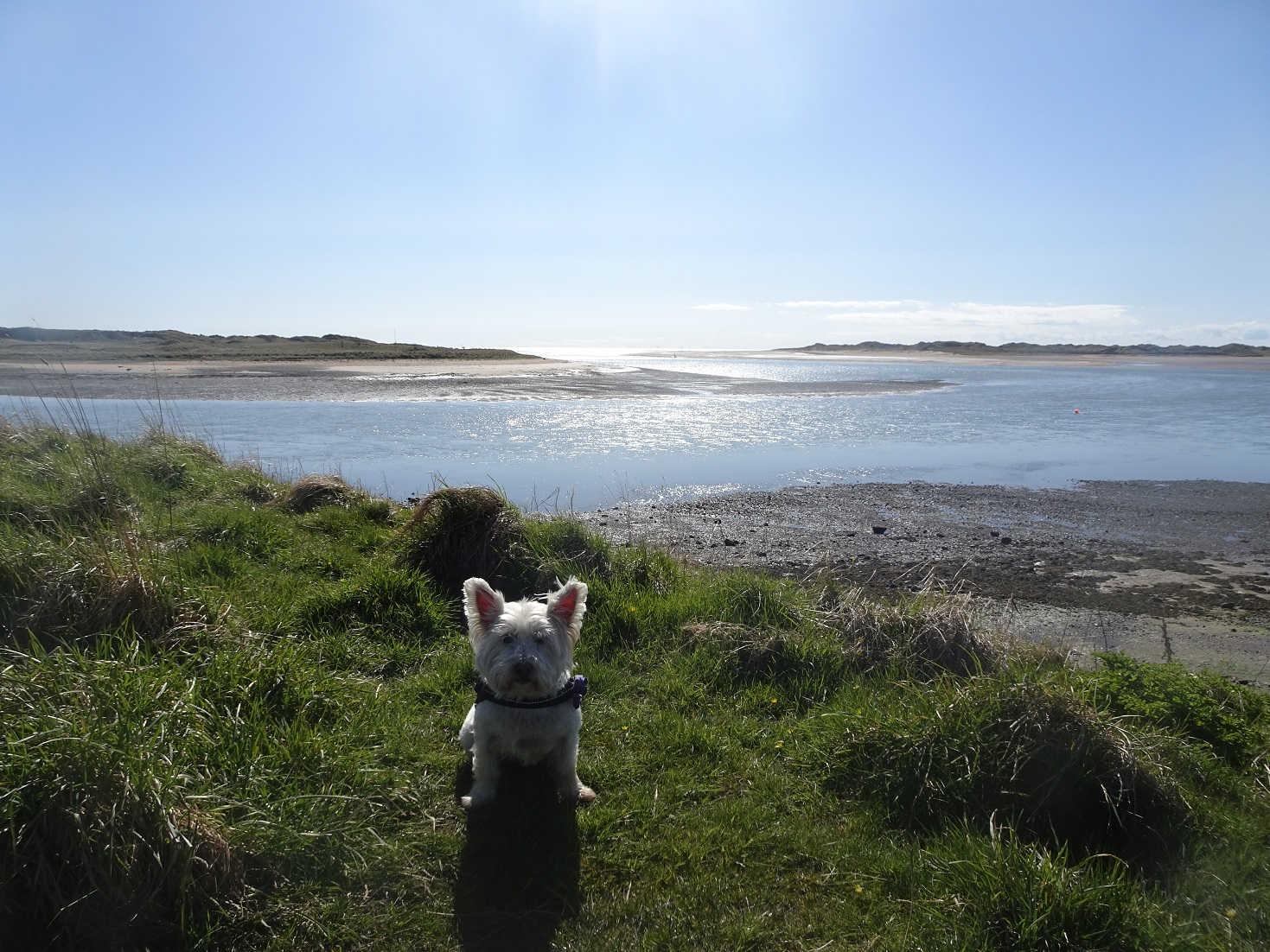 poppy the westie at ravensglass shoreline
