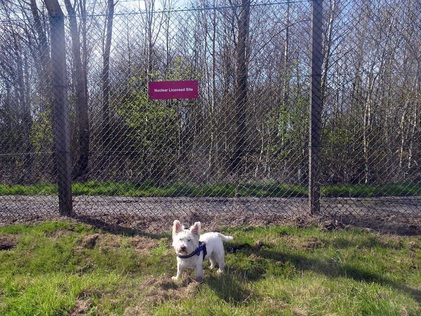 poppy the westie at the nuclear dump