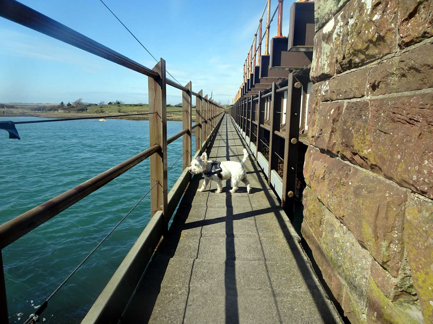 poppy the westie crossing the river Mite at ravensglass