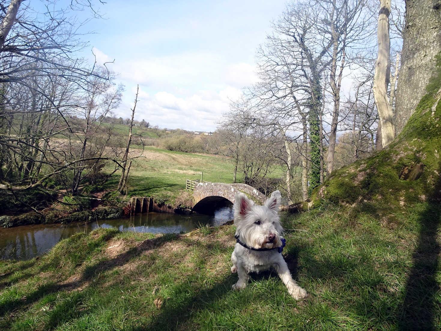 poppy the westie discovers Pack Horse Bridge