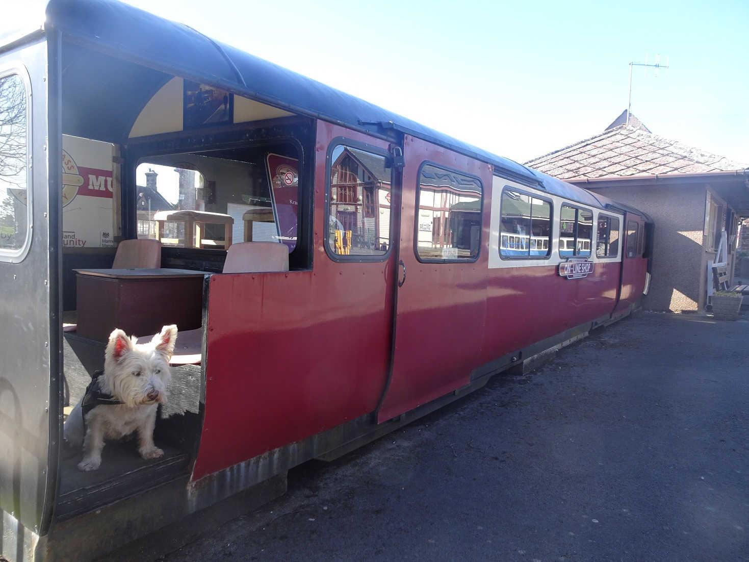 poppy the westie on a wee train ravensglass