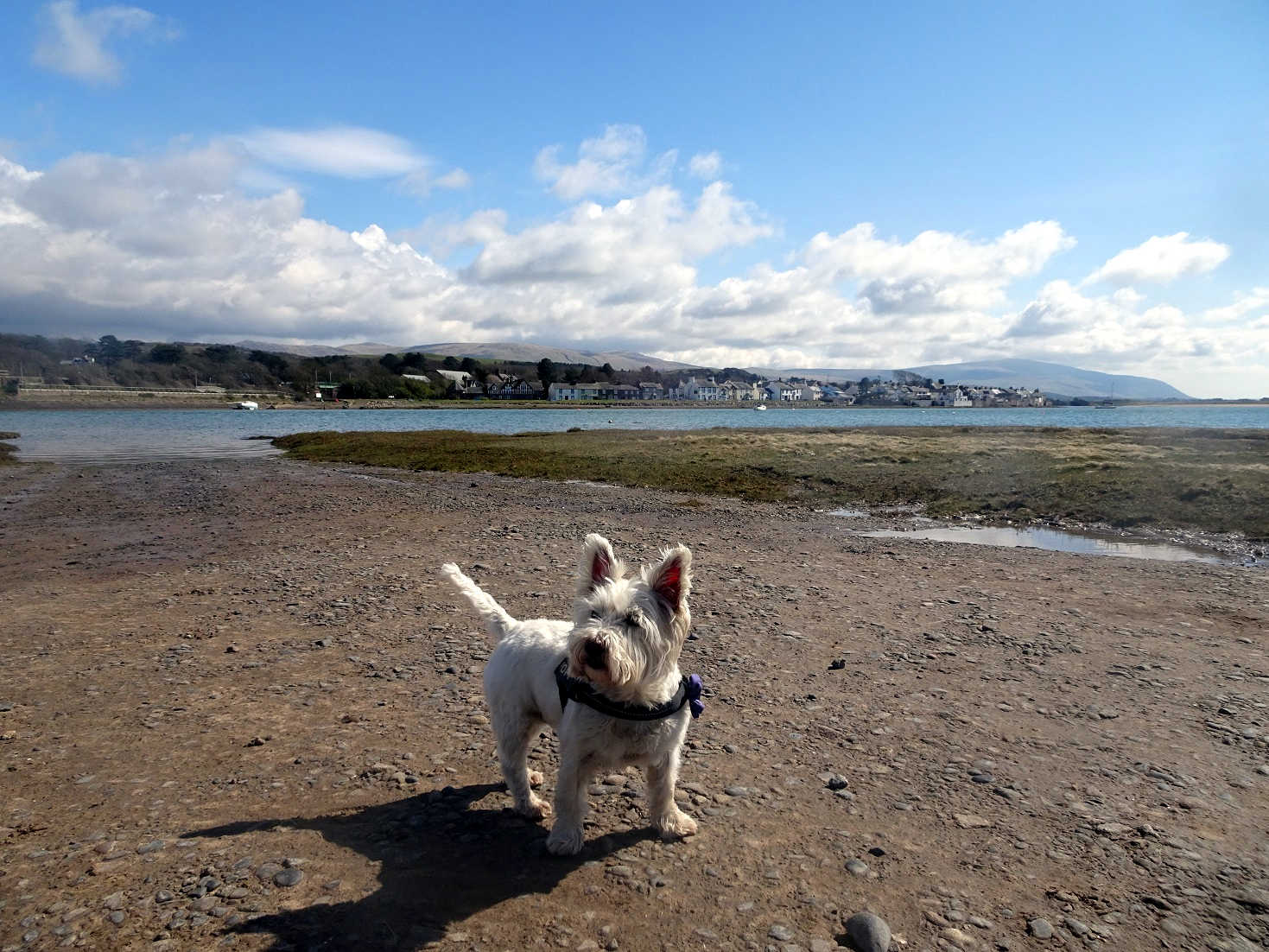 poppy the westie on other north bank at ravensglass