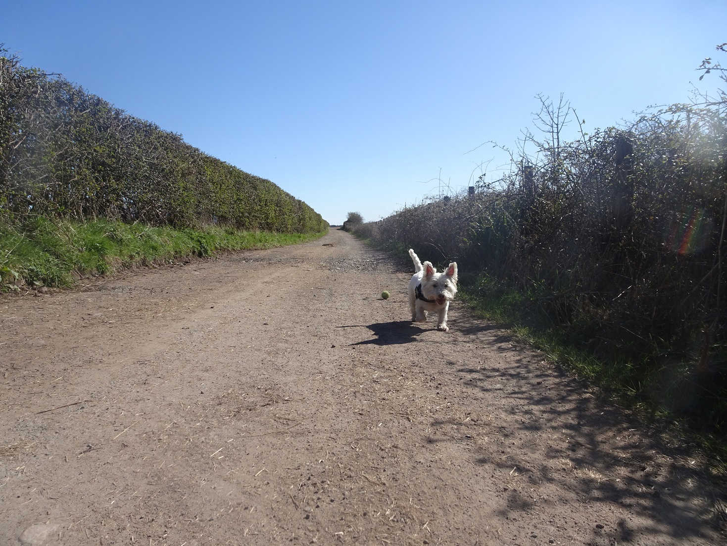 poppy the westie on private road ravensglass