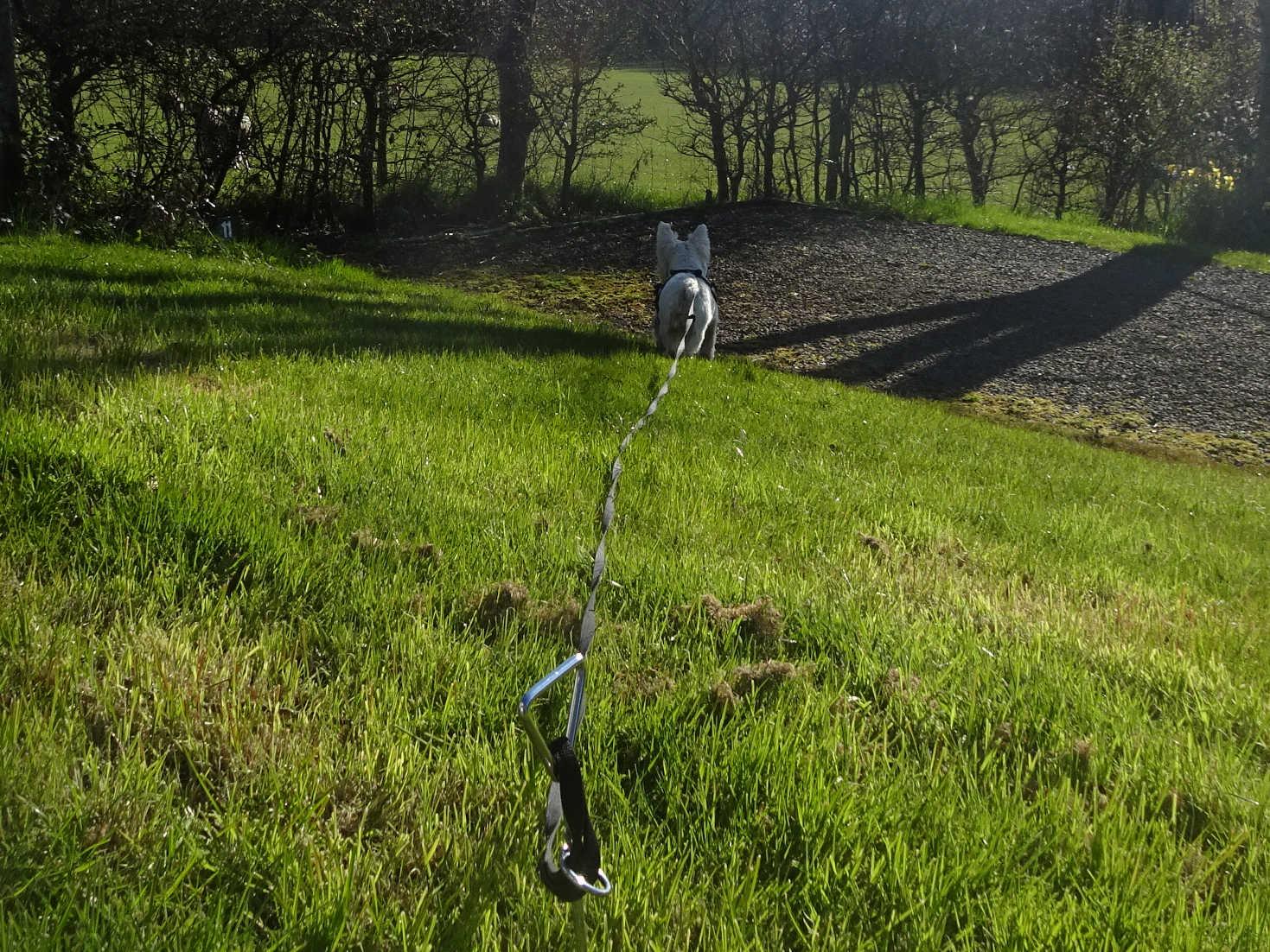 poppy the westie spys the spring lambs