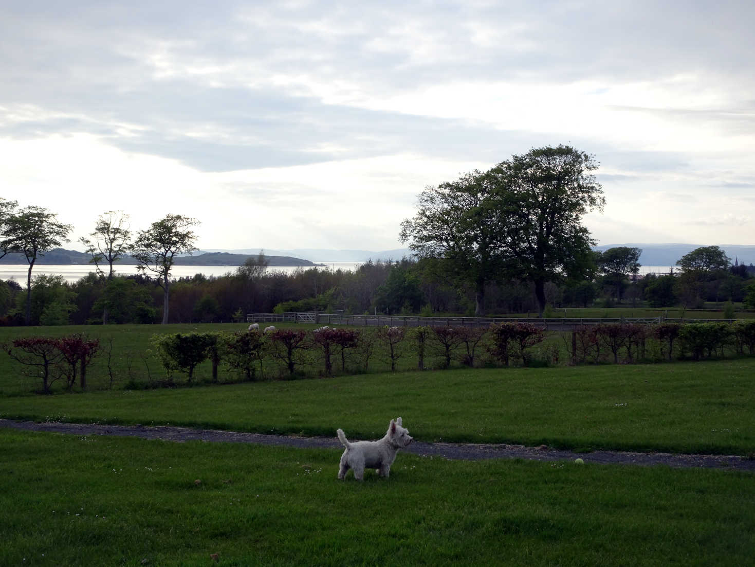 poppy the westie at dusk on the clyde