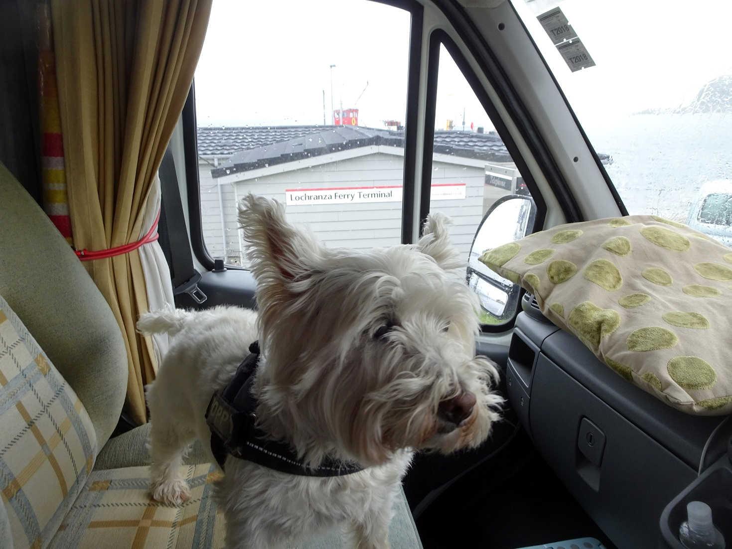 poppy the westie back at the Lochranza ferry terminal