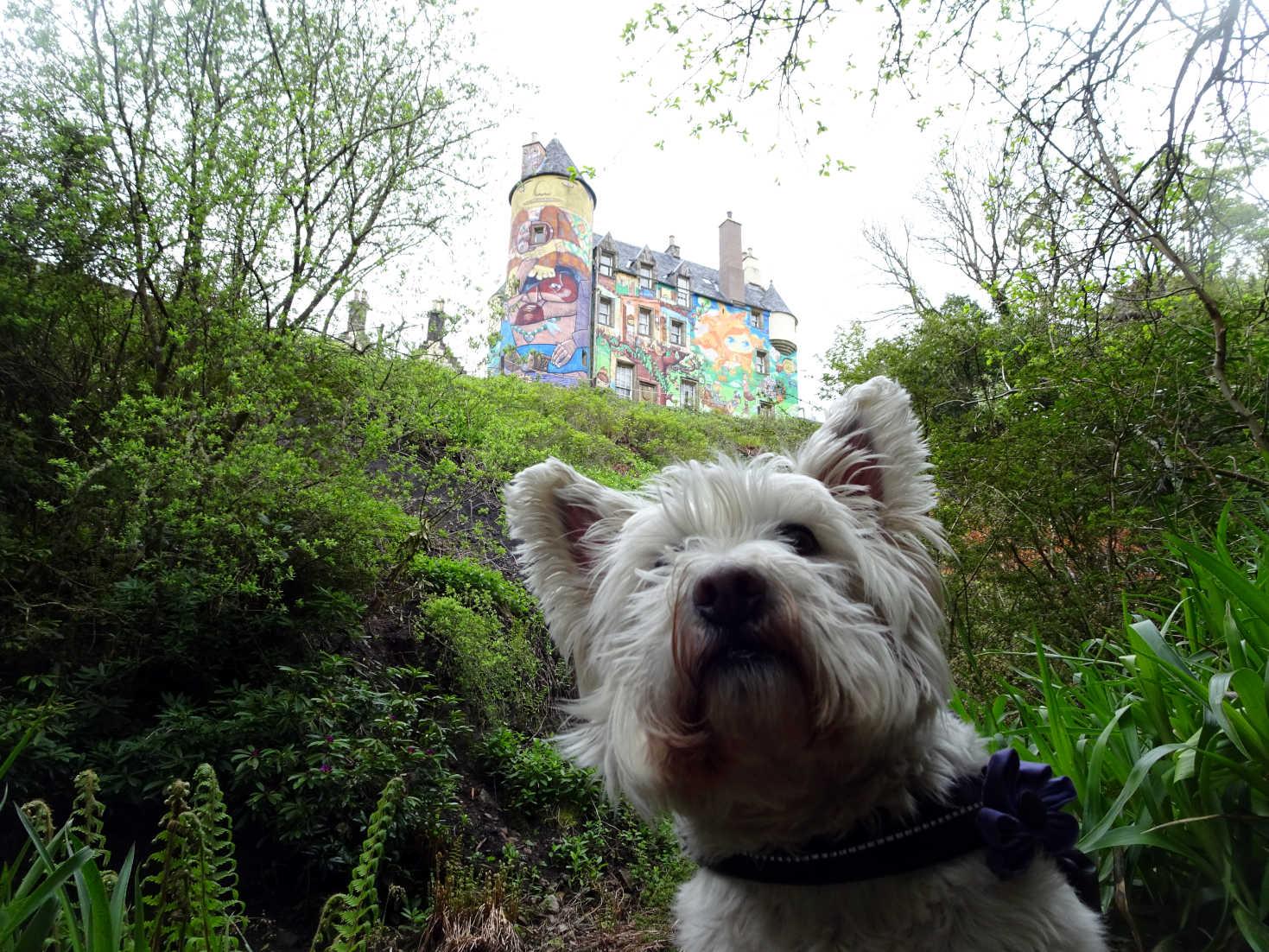 poppy the westie below Kelburn Castle