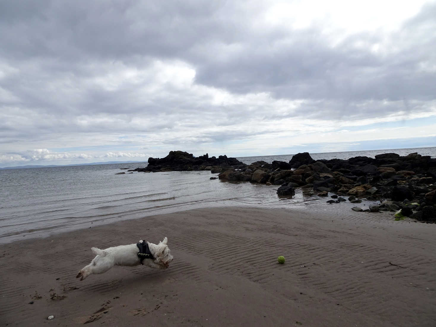 poppy the westie closes in on ball