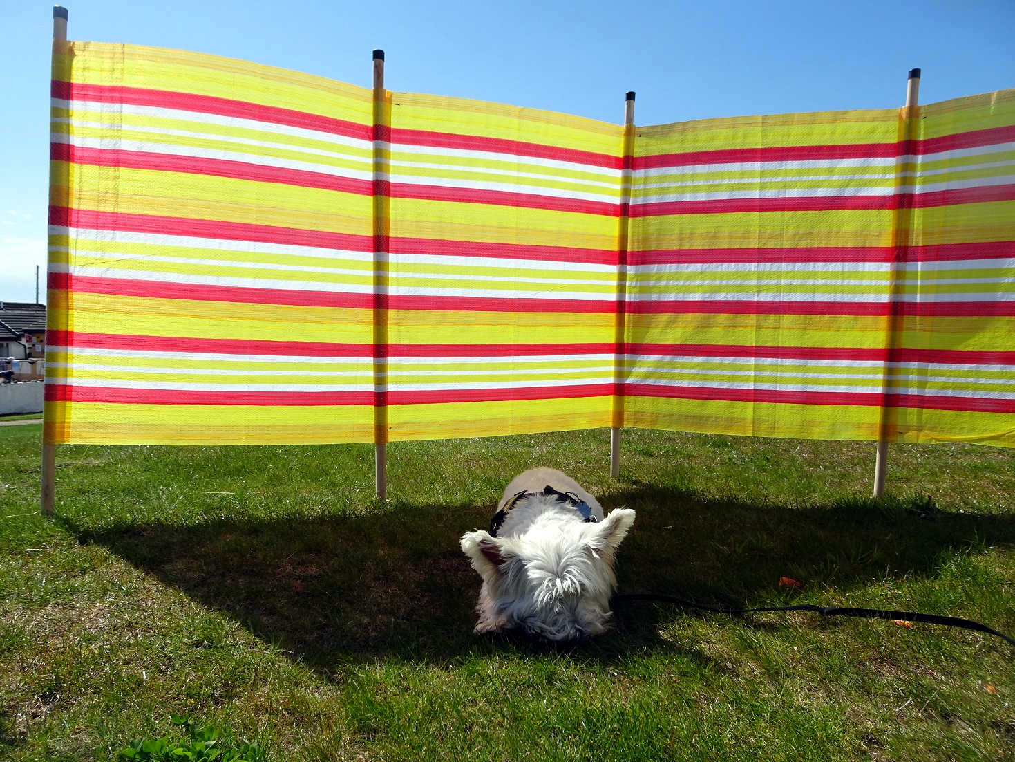 poppy the westie finds some shade at seal shore campsite