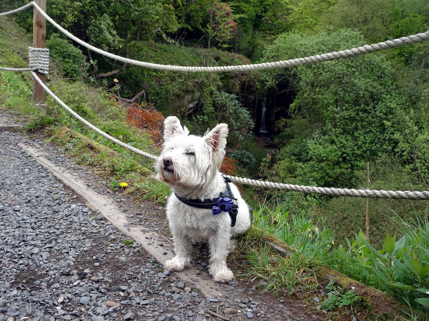 poppy the westie going up to Keburn Castle
