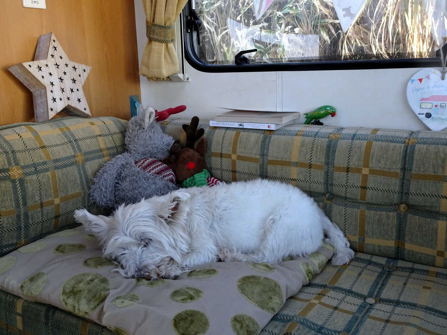 poppy the westie has a snooze after a busy days travelling