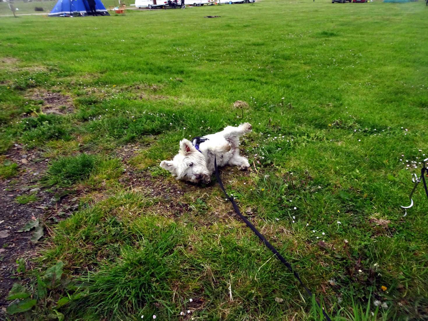 poppy the westie having fun at Kelburn campsite