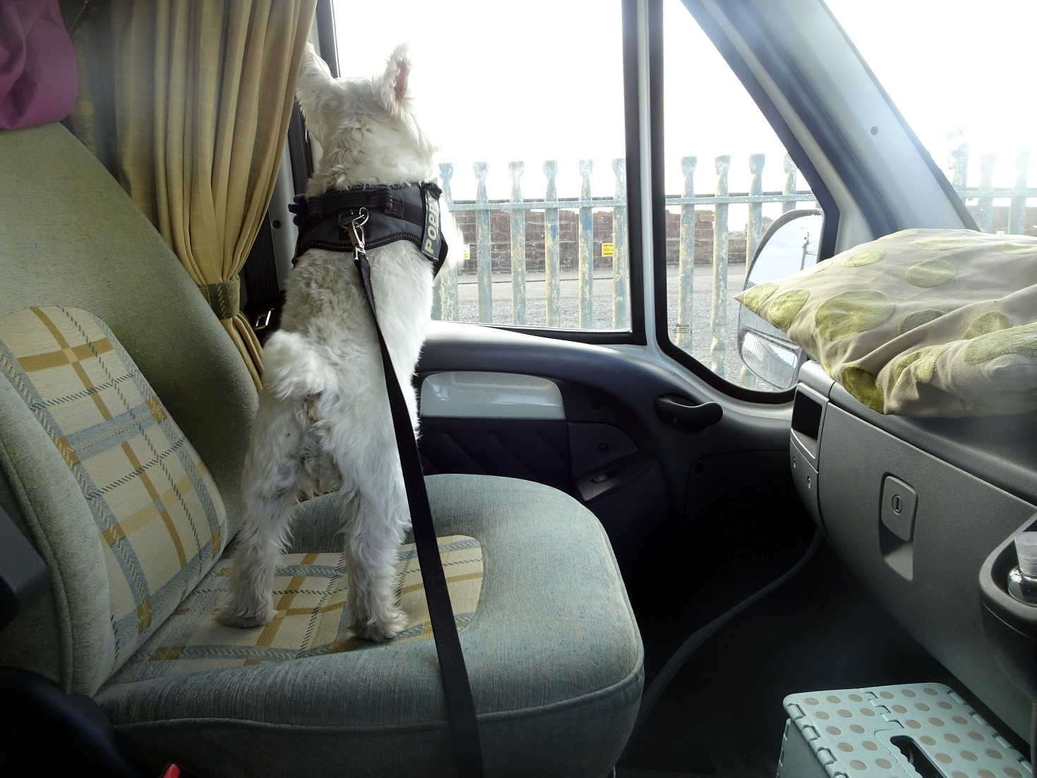 poppy the westie in the que for the arran ferry