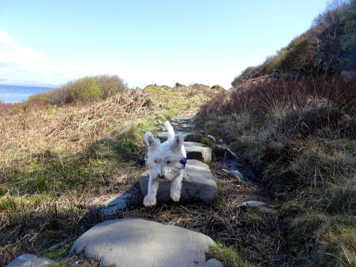 poppy the westie jumping stepping stones at Lochranza