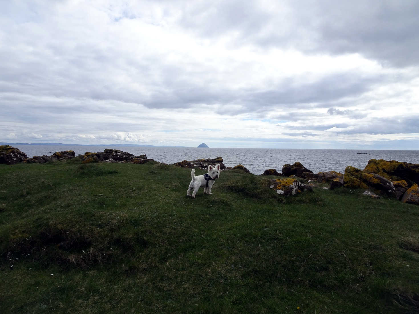 poppy the westie looking for seals at Kildonan