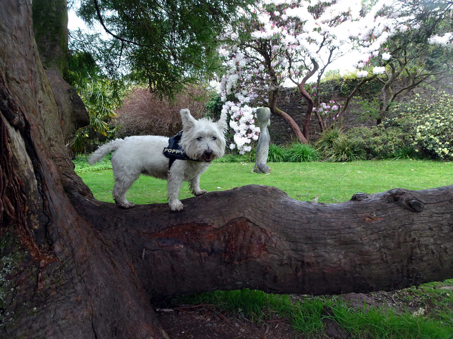 poppy the westie on 1000 year old yew tree at Kelburn Castle