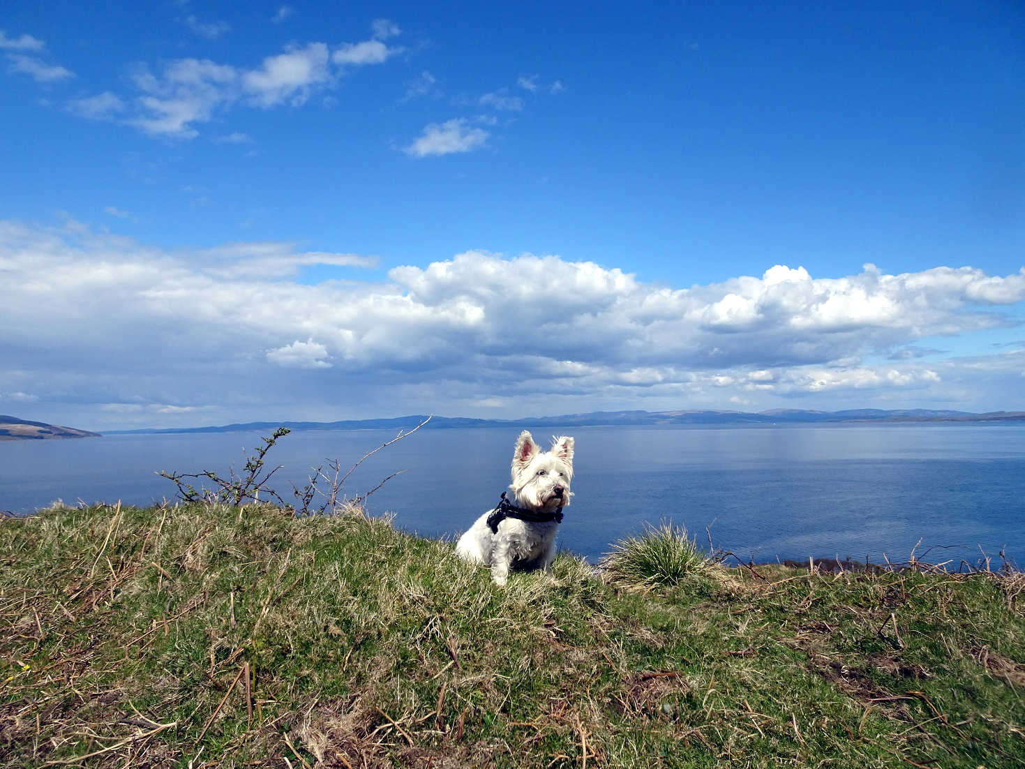 poppy the westie on arran with argyle and kintyre in background