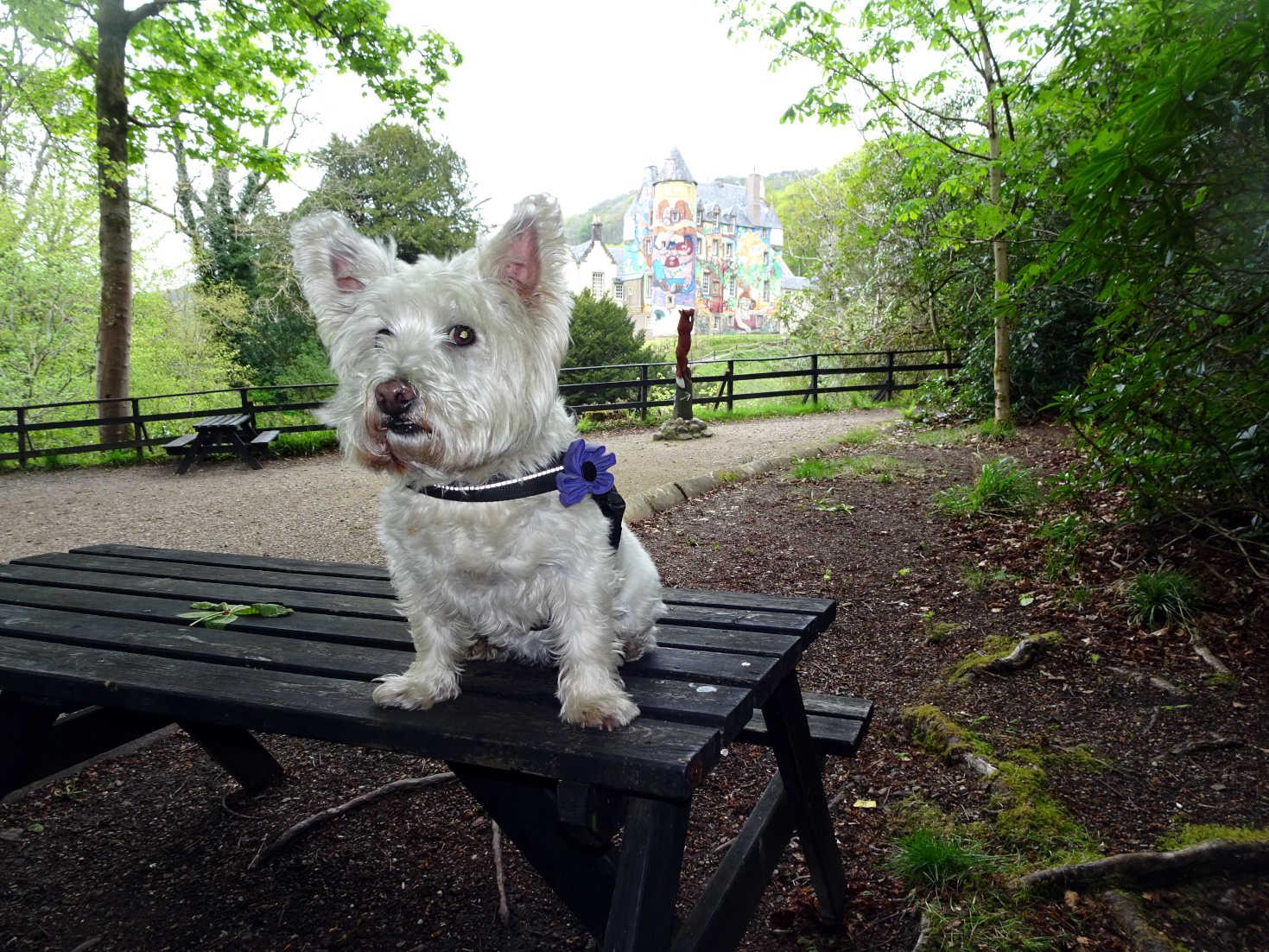poppy the westie on bench at kelburn