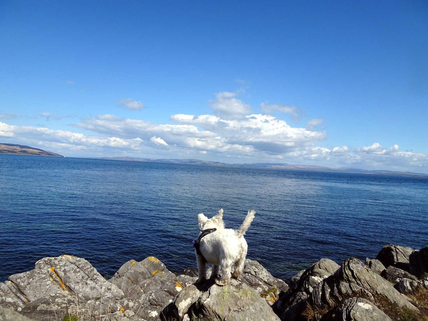 poppy the westie on rocks at Lochranza