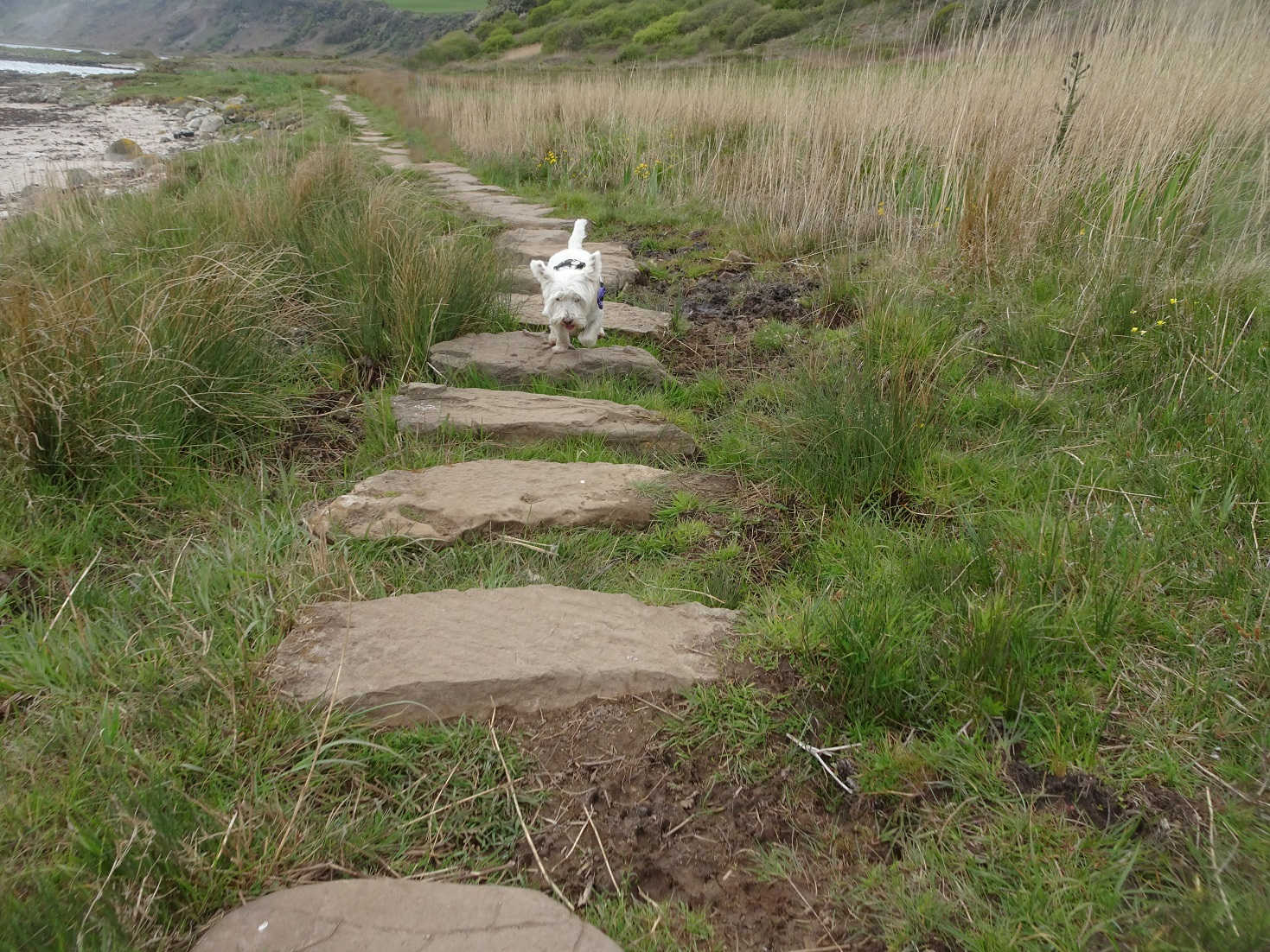 poppy the westie on the stepping stones at kildonan Arran