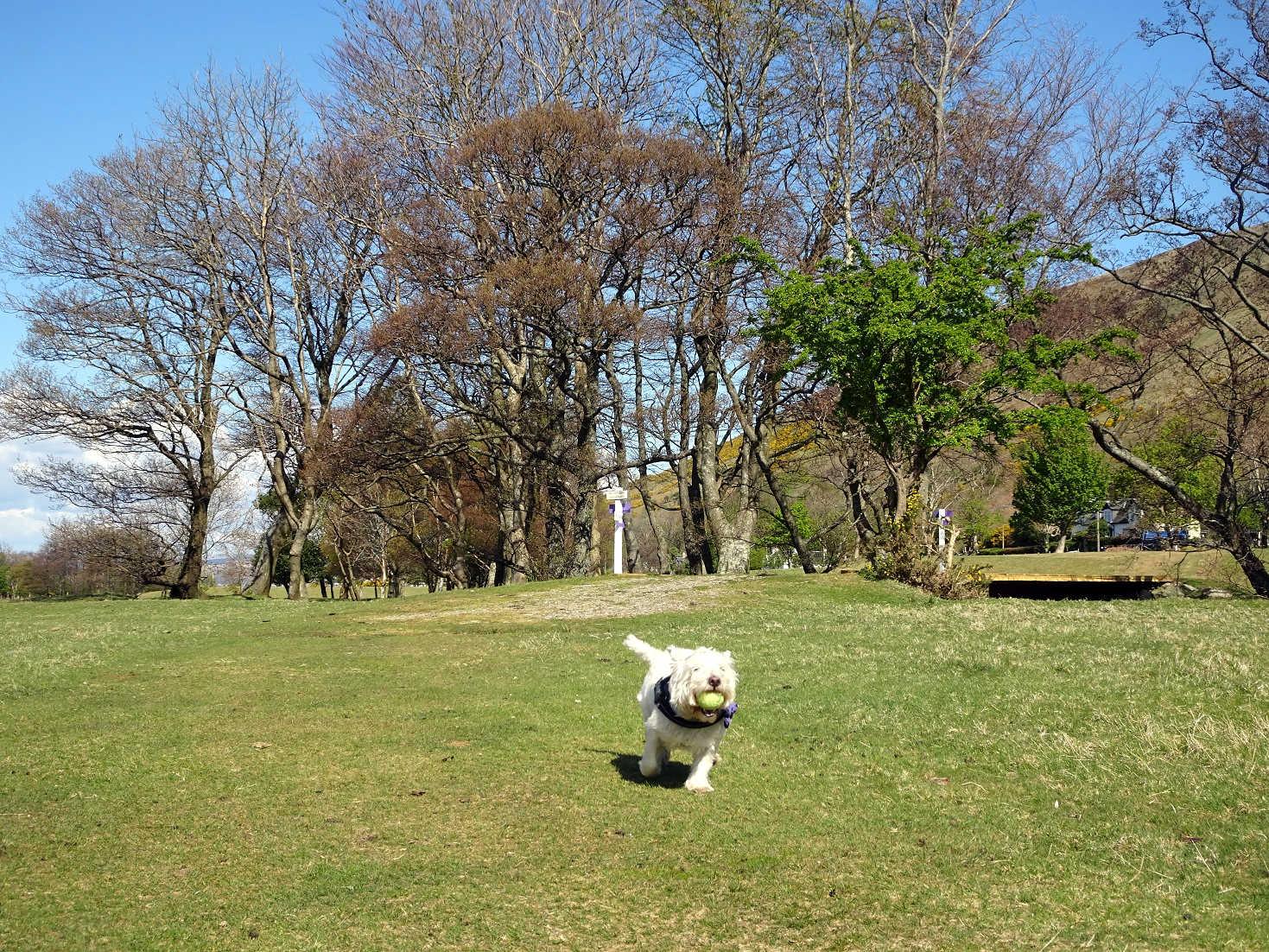 poppy the westie playing ball on Lochranza golf course