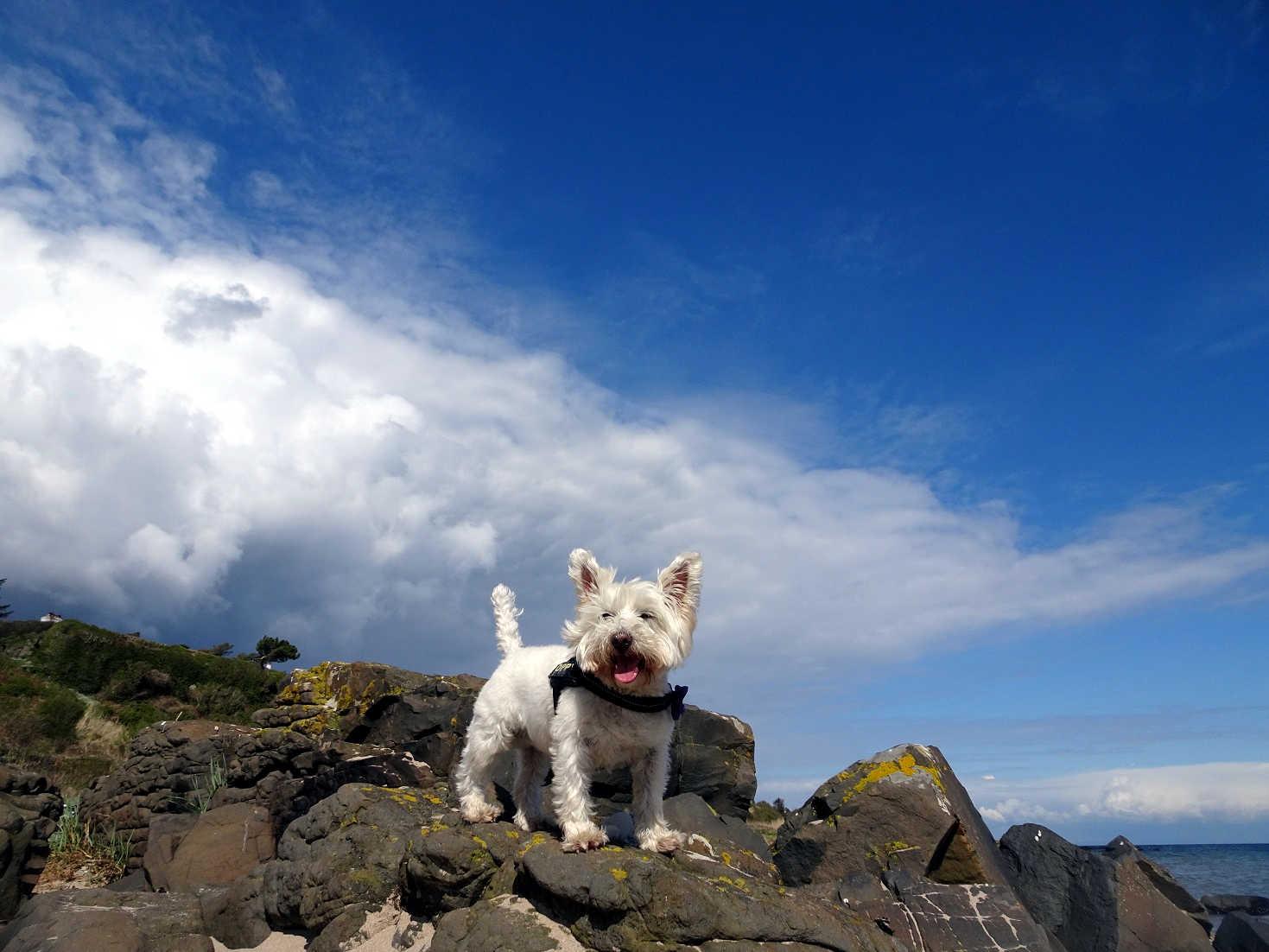poppy the westie rock climbing at Kildonan Shore