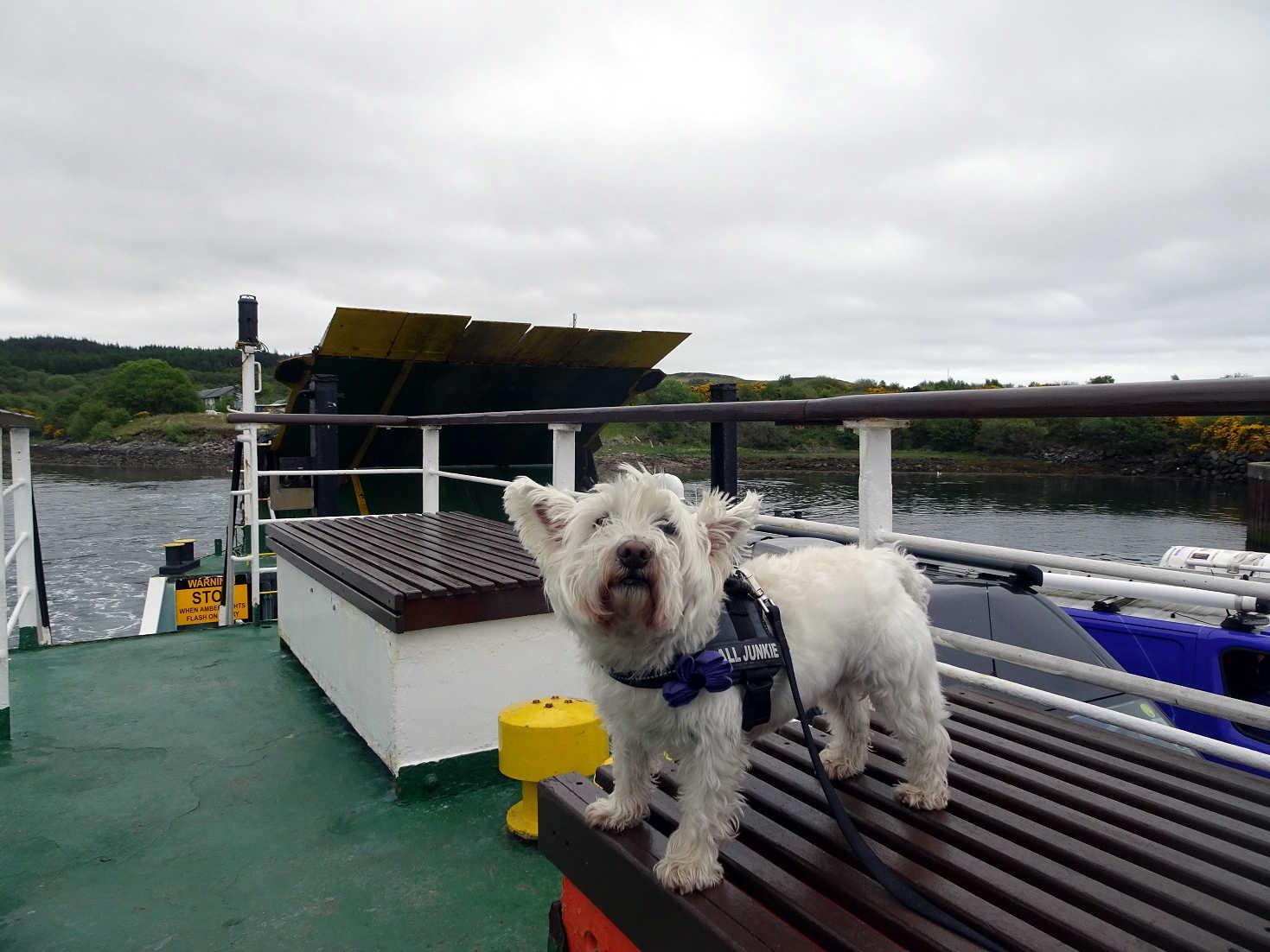 Poppy the Westie on the Tarbert Ferry