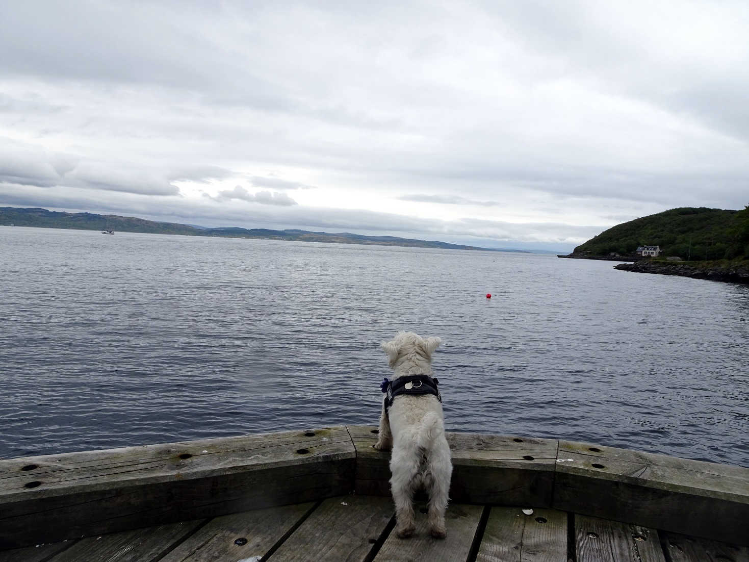 Poppy the Westie stairing at the sea loch