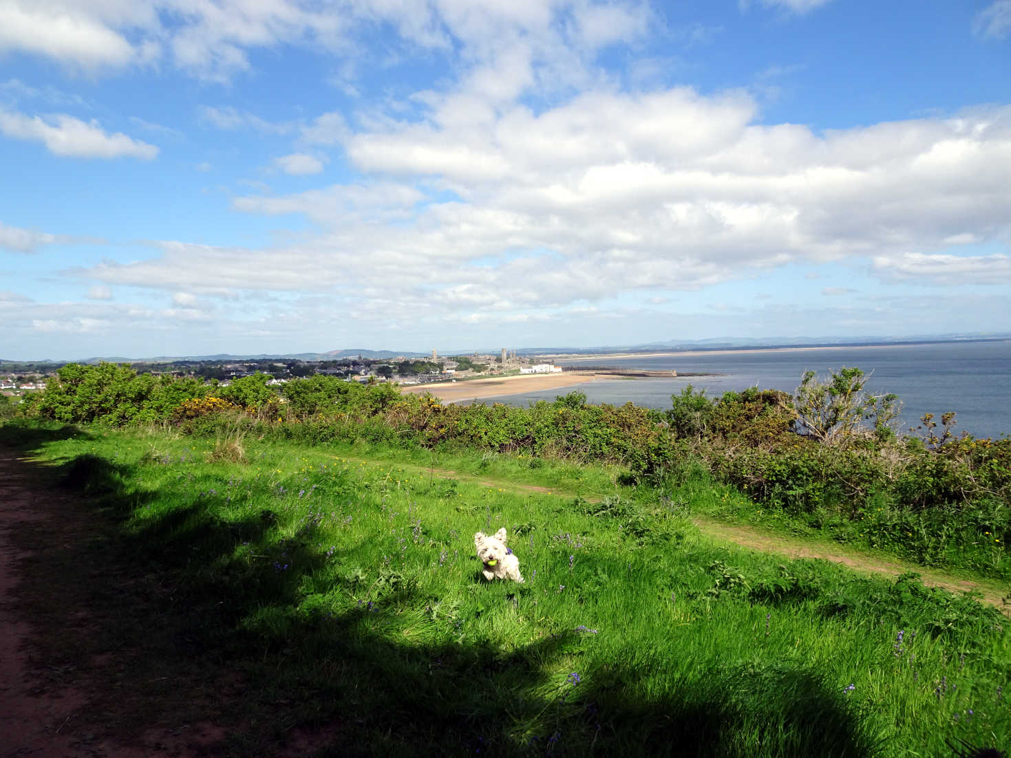 poppy the westie above St Andrews in the morning
