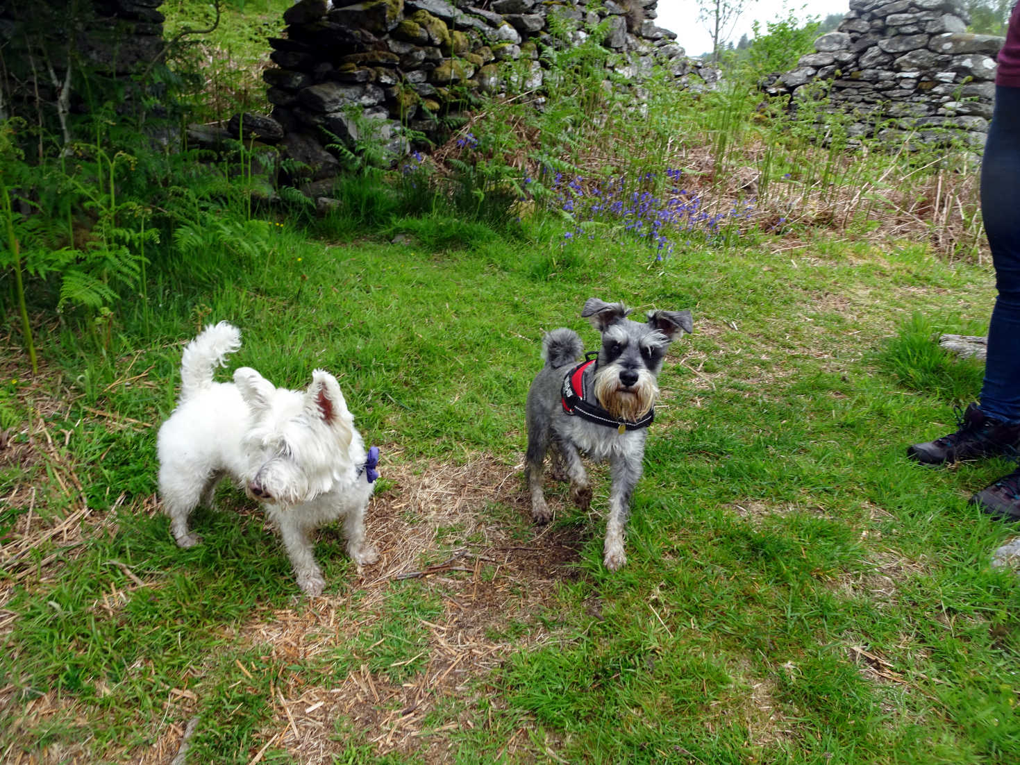 poppy the westie and freddy at Glenan Village
