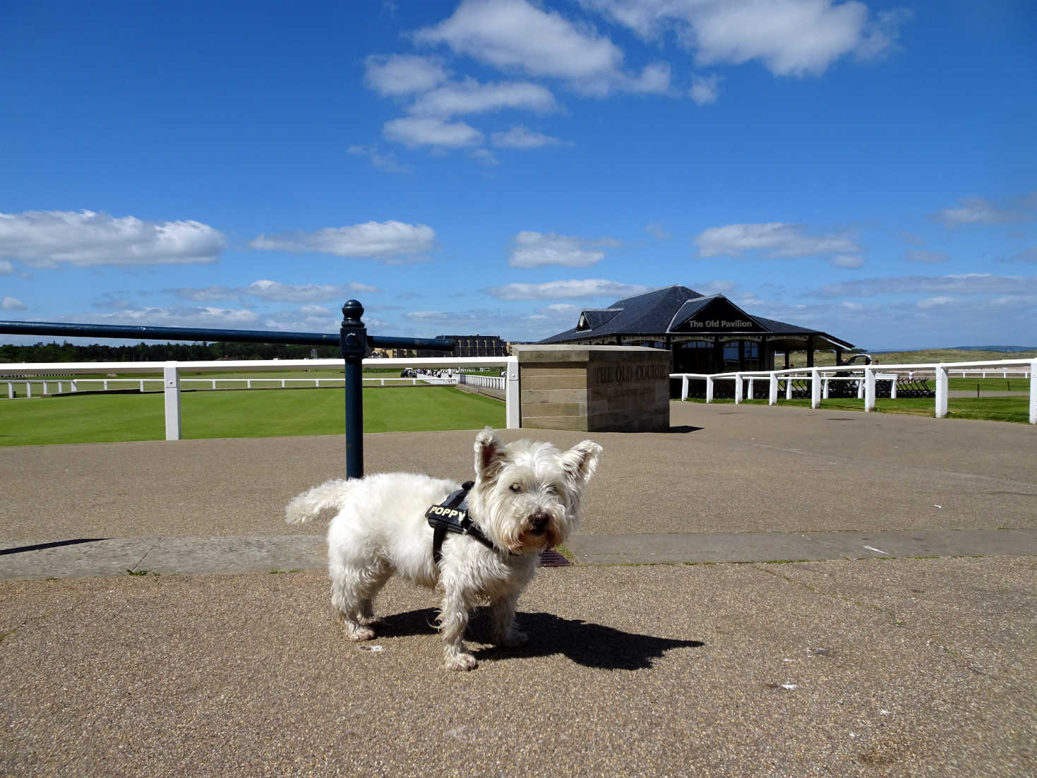 poppy the westie at 1st tee St Andrews