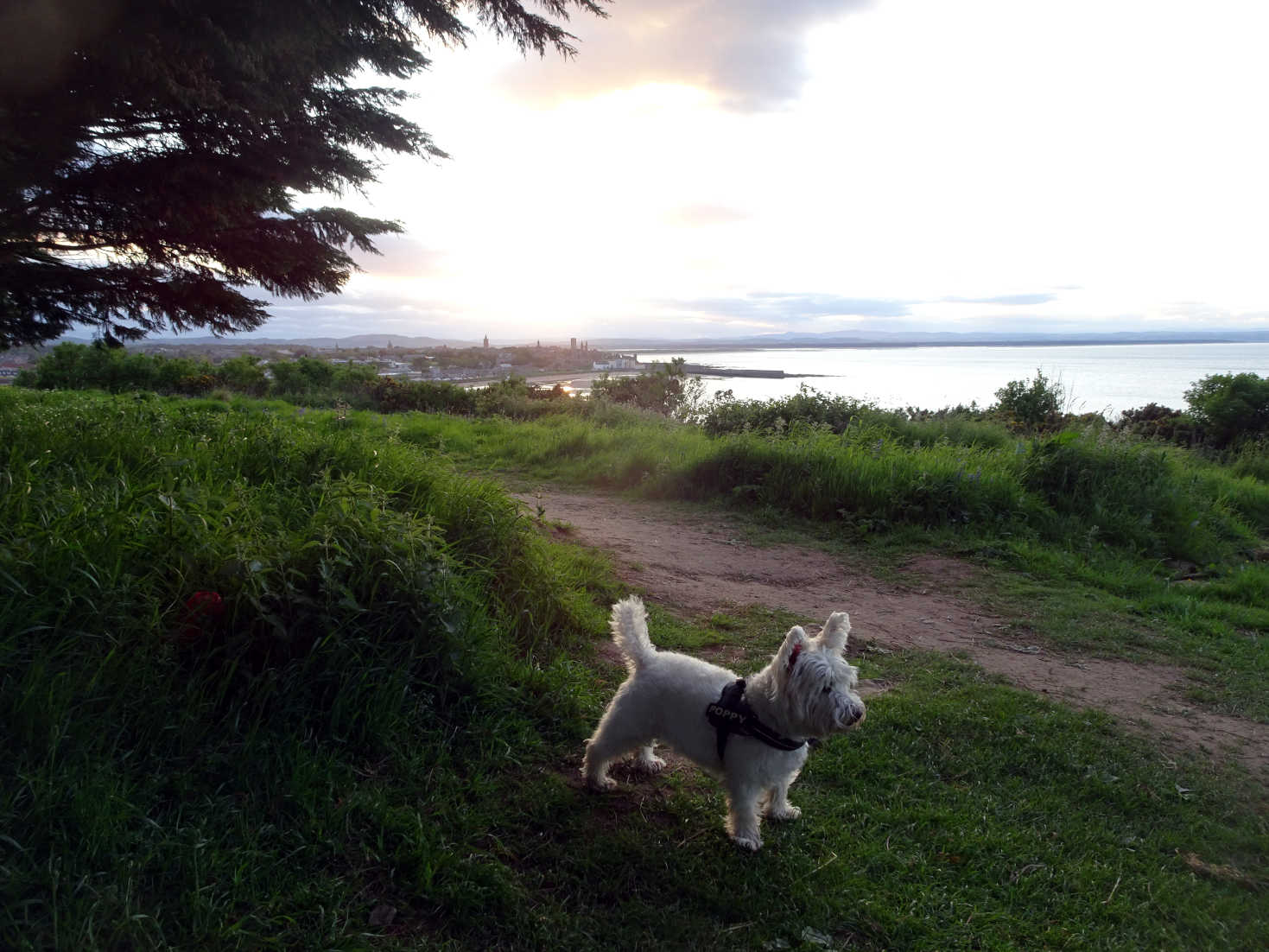 poppy the westie at St Andrews coast at sunset