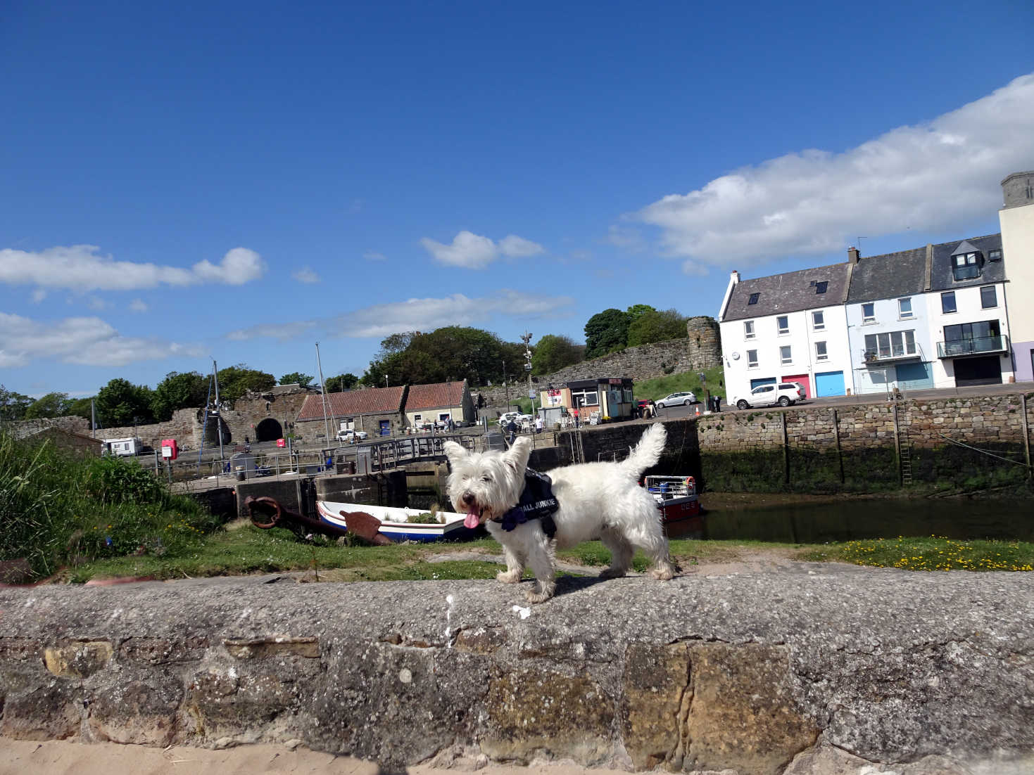 poppy the westie at St Andrews harbour