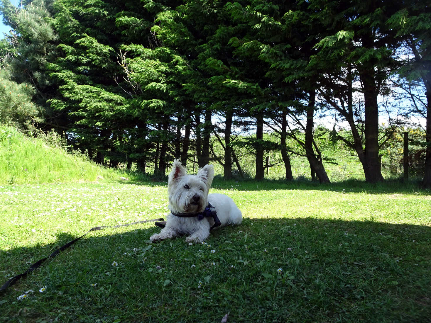 poppy the westie at camp St Andrews