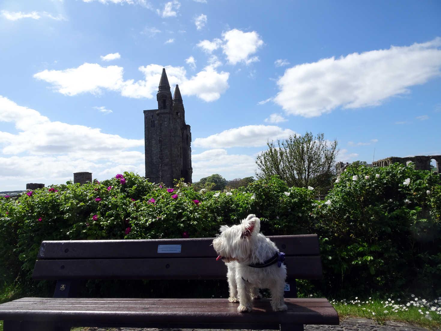 poppy the westie by St Andrews Abbey
