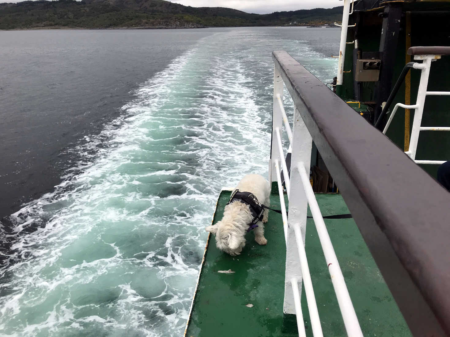 poppy the westie chancing it on the tarbert ferry