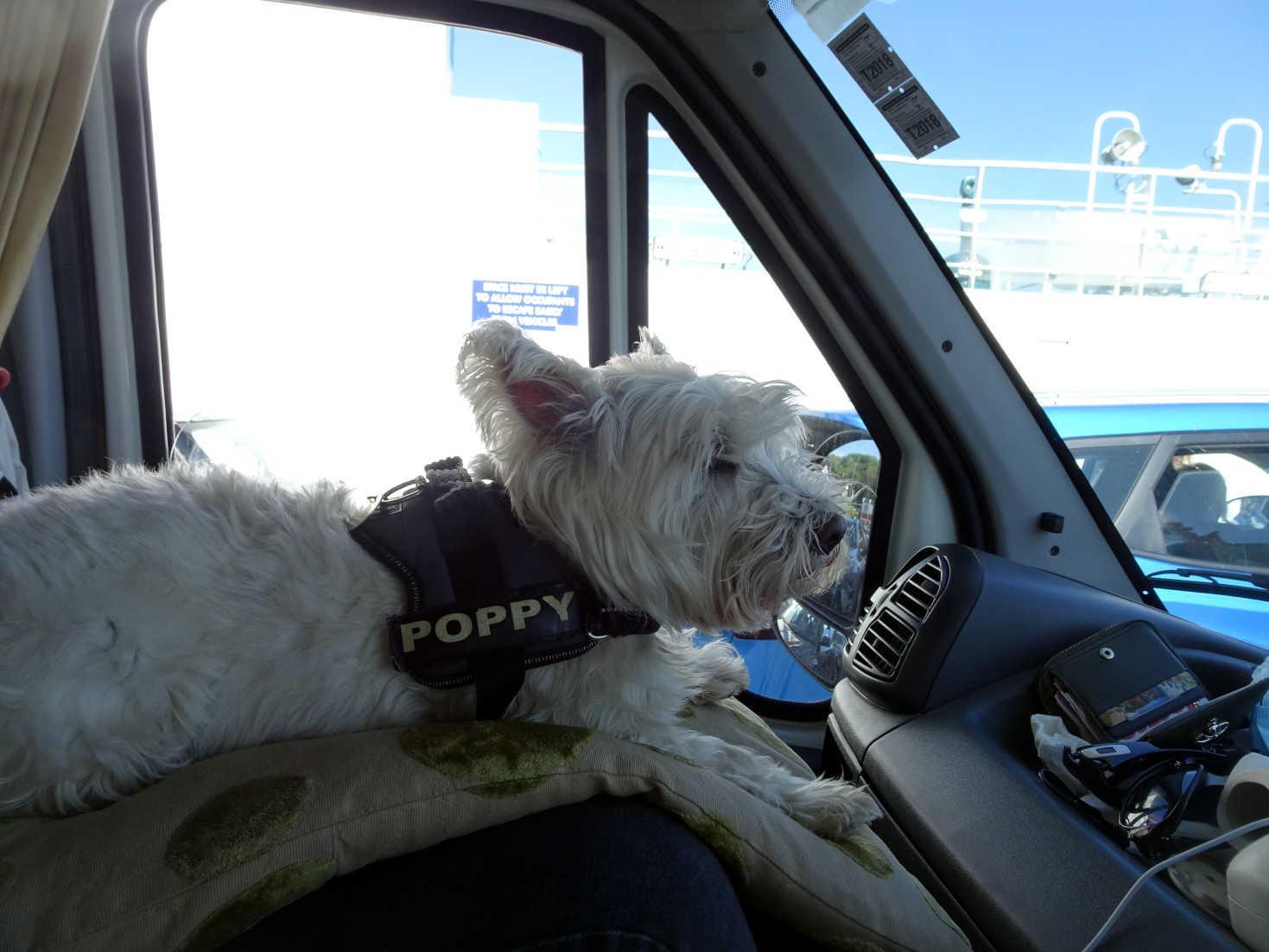 poppy the westie going home on western ferry