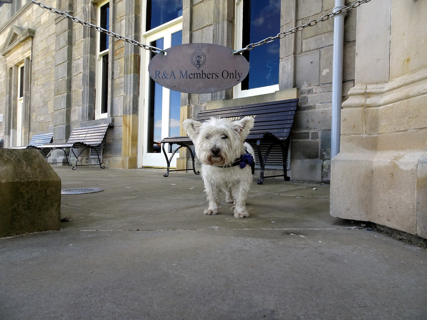 poppy the westie invades the R&A St Andrews